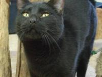 Domestic Short Hair - Cindy - Small - Adult - Female -