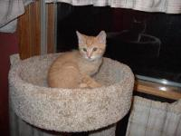 Domestic Short Hair - Clancy - Medium - Young - Male -