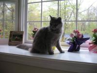 Domestic Short Hair - Cleo - Medium - Adult - Female -