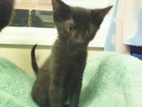 Domestic Short Hair - Clint - Small - Baby - Male -