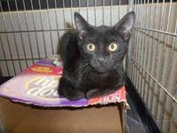 Domestic Short Hair - Coal - Small - Young - Male -
