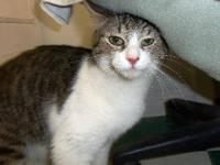 Domestic Short Hair - Cosmo - Medium - Adult - Male -