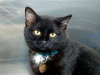 Domestic Short Hair - Crystal - Medium - Young - Female