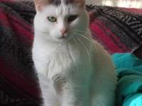 Domestic Short Hair - Daisy - Small - Adult - Female -