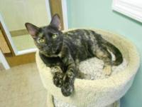 Domestic Short Hair - Dakota - Medium - Adult - Female