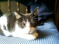 Domestic Short Hair - Dave - Small - Young - Male -