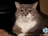 Domestic Short Hair - Devan - Large - Adult - Female -