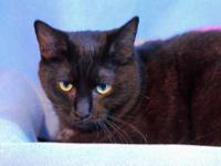 Domestic Short Hair - Dolly - Small - Young - Female -
