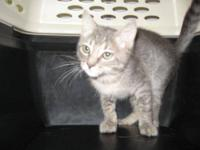 Domestic Short Hair - Doris - Medium - Baby - Female -