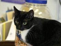 Domestic Short Hair - Dory - Small - Young - Female -