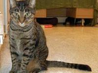Domestic Short Hair - Dougy - Large - Senior - Male -