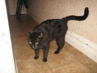 Domestic Short Hair - Elmo - Medium - Young - Male -
