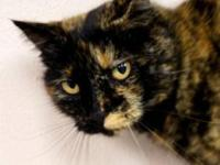 Domestic Short Hair - Emerald - Medium - Adult - Female