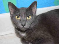 Domestic Short Hair - Eva - Medium - Adult - Female -