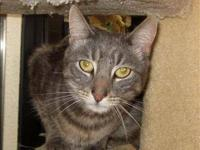 Domestic Short Hair - Farland - Medium - Adult - Male -
