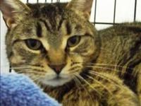 Domestic Short Hair - Foley - Medium - Adult - Male -