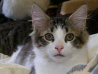 Domestic Short Hair - Frankie - Medium - Adult - Male -