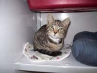 Domestic Short Hair - Frankie - Small - Baby - Male -