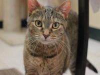 Domestic Short Hair - Gidget - Medium - Adult - Female