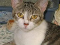 Domestic Short Hair - Gidget - Small - Adult - Female -