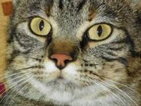 Domestic Short Hair - Grace - Medium - Young - Female -