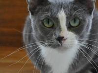 Domestic Short Hair - Gray and white - Betsy - Small -