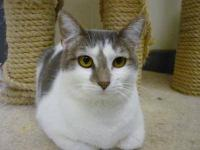 Domestic Short Hair - Gray and white - Colbie - Medium