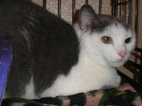 Domestic Short Hair - Gray and white - Fletch - Large -