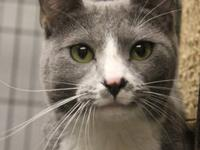 Domestic Short Hair - Gray and white - Friar - Medium -