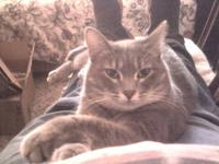 Domestic Short Hair - Gray - Louisa - Small - Adult -