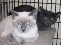 Domestic Short Hair - Gray - Skyler - Large - Young -