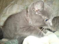 Domestic Short Hair - Gray - Swiss - Medium - Baby -