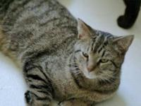Domestic Short Hair - Grover - Medium - Young - Male -