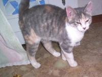 Domestic Short Hair - Harriet - Medium - Young - Female