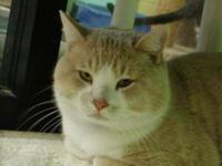 Domestic Short Hair - Henry - Medium - Young - Male -
