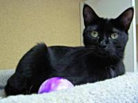 Domestic Short Hair - Inkie - Medium - Adult - Female -