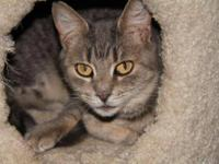 Domestic Short Hair - Jenn - Small - Young - Female -