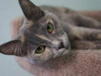 Domestic Short Hair - Jipsee - Medium - Adult - Female