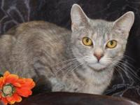 Domestic Short Hair - Josie - Small - Adult - Female -