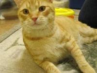 Domestic Short Hair - Kat - Medium - Adult - Male -