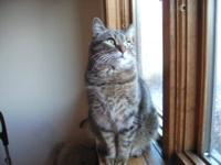 Domestic Short Hair - Katie - Medium - Young - Female -