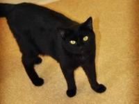 Domestic Short Hair - Kenny - Medium - Young - Male -