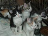 Domestic Short Hair - Kittens! $35 Adoption Fee -