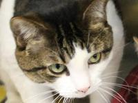 Domestic Short Hair - Lacey - Medium - Young - Female -