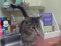 Domestic Short Hair - Laverne - Large - Adult - Female