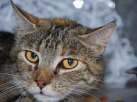 Domestic Short Hair - Linda - Medium - Young - Female -