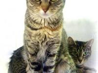Domestic Short Hair - Lucy And Ethal - Medium - Young -