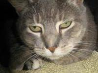 Domestic Short Hair - Lula - Medium - Adult - Female -