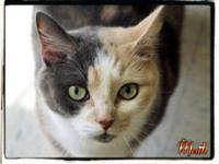 Domestic Short Hair - Maih - Large - Adult - Female -