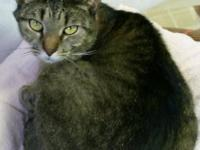 Domestic Short Hair - Mallory - Medium - Young - Female